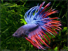 Betta  Crowntail- Бета