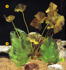"A. Nuphar japonica B. Nuphar lutea v. ""Cape Fear"" C. Nuphar lutea v. ""Round Leaf"""