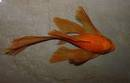 Ancistrus super red longfin