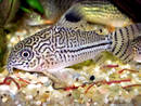 Corydoras trilineatus vs julii