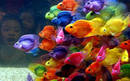 Color Parrot cichlids
