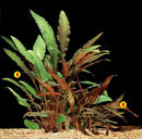 A. Cryptocoryne petchii B.Cryptocoryne petchii