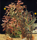 "A. Hygrophila polysperma v. ""Tropic Sunset"" B. Hygrophila sp. ""Red"""